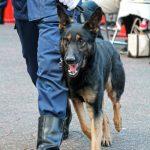 警察犬・警備犬 訓練展示  - ポリスミュージアム特別展で見られた、ハンドラーとの絆 –